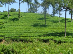 Connemarra tea plantation